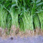 Kỹ thuật trồng rau Muống lấy hạt cho năng xuất cao
