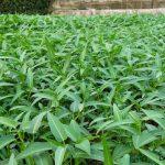 Kỹ thuật trồng rau Muống nước sạch an toàn - ky thuat trong rau muong nuoc sach an toan 150x150