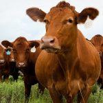 Làm chuồng bò cần chú ý những yếu tố nào?