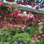 Làm thế nào để hoa Hồng leo có thể ra hoa quanh năm? - lam the nao de hoa hong leo co the ra hoa quanh nam 1 150x150