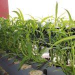 Làm thế nào trồng rau Muống thật hiệu quả ?