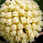 Cách trồng hoa Lan cẩm cù lá tim - lan cam cu la tim 1024x682 150x150