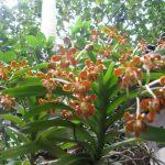 Những điều kiện để hoa Lan Vanda nâu phát triển tốt - lan vanda 768x576 150x150