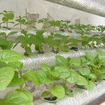 Cách trồng rau sạch không cần đất