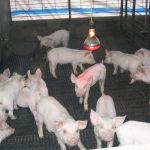 PRDC - Thách thức mới của các trại nuôi Heo - lon con sau cai sua 1 150x150