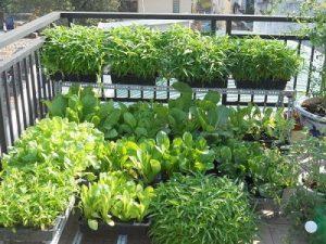 Những lợi ích từ việc trồng rau sạch không phải ai cũng biết - lua chon cay 300x225