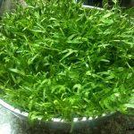 Cách trồng rau Muống bằng máy rất đơn giản tại nhà - may trong rau 222 654 150x150