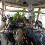 Nuôi Dê tận dụng phụ phẩm từ cây trồng ở Lộc Quang