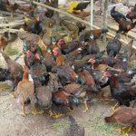 Mô hình chăn nuôi gà thịt an toàn sinh học ở Hàm Tân (Bình Thuận): An toàn, lợi nhuận cao - mohinh 1 150x150