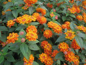 Nên trồng hoa gì trên sân thượng? (Phần 2) - nen trong hoa gi tren san thuong phan 2 2