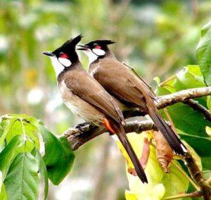 Cần chuẩn bị gì khi nuôi chim cảnh hót - nguoiduatin Chimcanhtunhien2 300x284