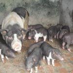 Phương pháp nhân giống trong chăn nuôi Heo