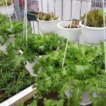 Tự trồng rau sạch tại nhà đơn giản