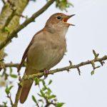 Điểm danh 3 loài chim cảnh hót hay nhất - nightingale paxton pits 26 04 2010 00122 150x150