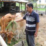 Làm giàu từ nuôi Gà ấp trứng khép kín - nuoi bo vo beo ninh thuan 1 150x150