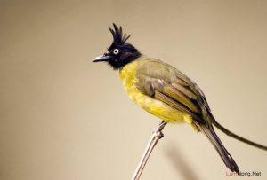 Chia sẻ kinh nghiệm nuôi chim Chào Mào sinh sản - nuoi chao mao sinh san 300x203