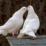 Cách phòng bệnh cho chim Bồ Câu
