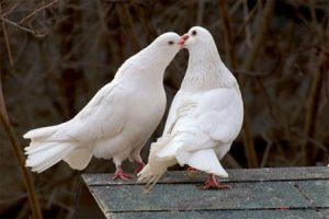 Cách pha trộn thức ăn cho chim Bồ Câu đạt năng xuất cao - nuoi chim bo cau lam giau 300x200