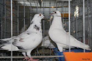 Cách pha trộn thức ăn cho chim Bồ Câu đạt năng xuất cao - nuoi chim bo caulam giau 300x200