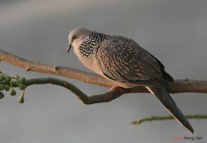 Tổng hợp kinh nghiệm nuôi chim Cu Gáy (Phần 1) - nuoi chim cu gay 300x208