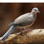 Chia sẻ kinh nghiệm nuôi Cu Gáy (Tiếp theo) - nuoi chim cu hay11 150x150
