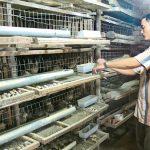 Người dân ven biển thu nhập khá nhờ chăn nuôi ở Quảng Ngãi - nuoi chim cut quang ngai 150x150