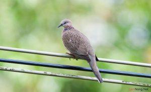 Tổng hợp kinh nghiệm nuôi chim Cu Gáy (Phần 1) - nuoi chim ku gay1 300x183