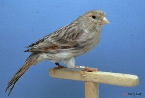 7 kinh nghiệm hay cho người nuôi chim Yến hót - nuoi chim yen 300x202