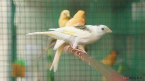 7 kinh nghiệm hay cho người nuôi chim Yến hót - nuoi chim yen1 300x168