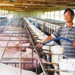 Kinh nghiệm phòng trị suyễn cho Lợn - nuoi heo 150x150