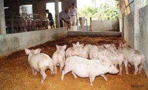 Bảo vệ môi trường bằng cách chăn nuôi Heo trên đệm lót lên men - nuoi heo dem lot len men 300x182