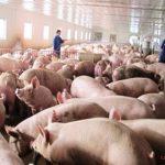 Một số vấn đề cần lưu ý khi chăn nuôi Heo trên đệm lót sinh học - nuoi heo tren dep lot sinh hoc1 jpeg 150x150