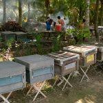Trà Vinh: Nghề nuôi Ong lấy mật ở Cầu Kè