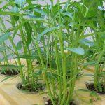 Cách trồng cây thủy canh tại nhà