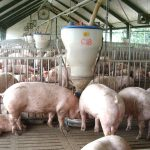 Phương pháp nhân giống trong chăn nuôi Heo - phuong phap nhan giong trong chan nuoi heo 150x150