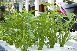 Hướng dẫn cách trồng rau thủy canh tại nhà (Phần 2) - rau muong 300x199