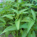 Hướng dẫn cách trồng rau muống trong thùng xốp - rau muong1 300x225 150x150