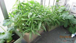 Hướng dẫn cách trồng rau muống trong thùng xốp - raumuong 1353641950 500x0 300x169