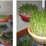 Hướng hẫn trồng rau Muống bằng giá thể xơ dừa - rausachcomvn15052013 150x150