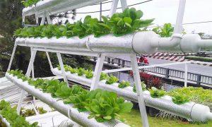 Hướng dẫn cách trồng rau thủy canh tại nhà (Phần 2) - resized rau thuy canh sach 4 300x180