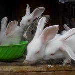 Tiêu chí chọn Thỏ cái và đực giống - sdc11387 1 150x150