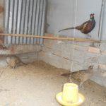 Kĩ thuật nuôi chim Trĩ đỏ cho hiệu quả cao - t 6 2 jpg 150x150