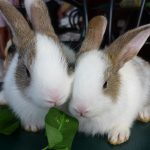 Kinh nghiệm nuôi Thỏ ít bị dịch bệnh và mau lớn - thit tho zpseac8b91b 150x150
