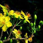 Thời gian lặt lá thích hợp cho hoa Mai nở đúng dịp tết