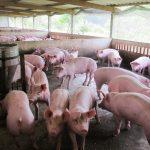 Tìm hiểu cách chăn nuôi Heo thịt sạch bằng men ủ vi sinh