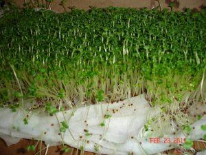 Tổng hợp các cách trồng rau mầm tại nhà (Phần 2) - tong hop cac cach trong rau mam tai nha2 300x225 1