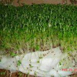 Tổng hợp các cách trồng rau mầm tại nhà (Phần 2)