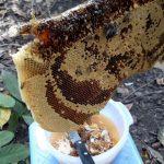 Trà Vinh: Nghề nuôi Ong lấy mật ở Cầu Kè - tra vinh nghe nuoi ong lay macca3t occ89 cau ke 150x150