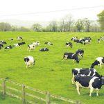 Trại nuôi Bò sữa đầu tiên ở Bình Phước - trang trai bo 150x150