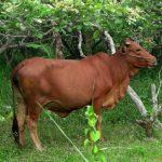 Triển khai phương án chăn nuôi Bò thịt hiệu quả cao